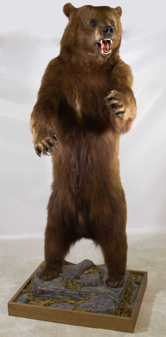 Lot 618 Full Body Mount Standing Brown Bear Taxidermy