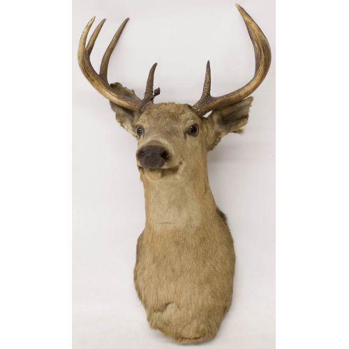10-point Mounted Deer Head